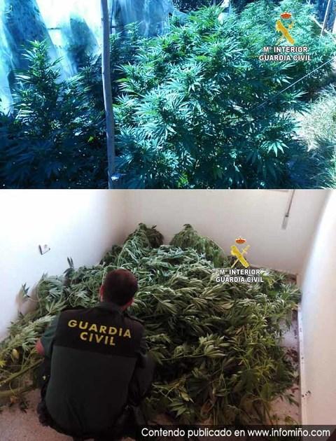 Infominho -  La Guardia Civil incauta una plantaci�n de marihuana en Tomi�o - INFOMI�O - Informacion y noticias del Baixo Mi�o y Alrededores.