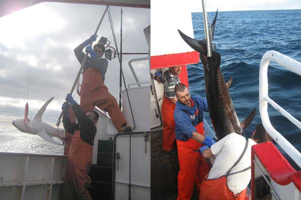 Infominho - Primer paso para la regulación de la pesquería de tiburones - INFOMIÑO - Informacion y noticias del Baixo Miño y Alrededores.