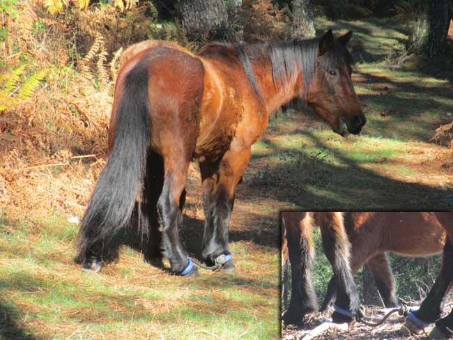 Infominho - Anabam preocupada polos casos dos cabalos –pexados- - INFOMIÑO - Informacion y noticias del Baixo Miño y Alrededores.