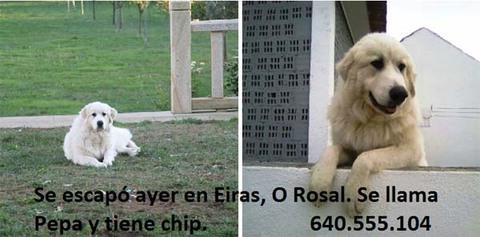 Infominho - Se busca perra desaparecida en As Eiras - O Rosal - INFOMIÑO - Informacion y noticias del Baixo Miño y Alrededores.
