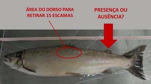 Infominho - Pedido de colaboração para registo informativo de salmão no rio Minho  - INFOMIÑO - Informacion y noticias del Baixo Miño y Alrededores.