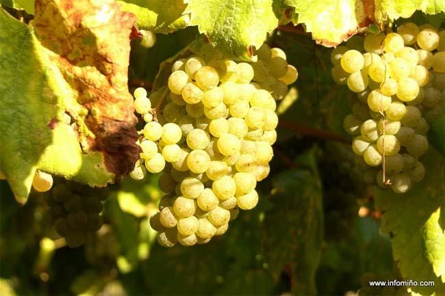 Infominho - Areeiro aconsella manter a vixilancia sobre o mildeu e  advirte dos primeiros síntomas de oídio nas viñas  - INFOMIÑO - Informacion y noticias del Baixo Miño y Alrededores.