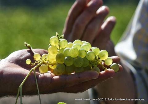 Infominho - Areeiro prevé que a vendima se adiante este ano ante a boa maduración dos acios nas viñas - INFOMIÑO - Informacion y noticias del Baixo Miño y Alrededores.