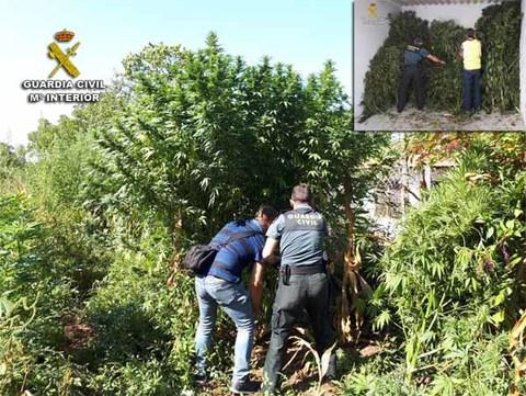 Infominho - La Guardia Civil descubre una plantación de marihuana en Tomiño - INFOMIÑO - Informacion y noticias del Baixo Miño y Alrededores.